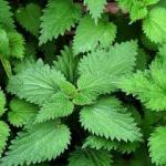 stinging nettles - prickly gifts