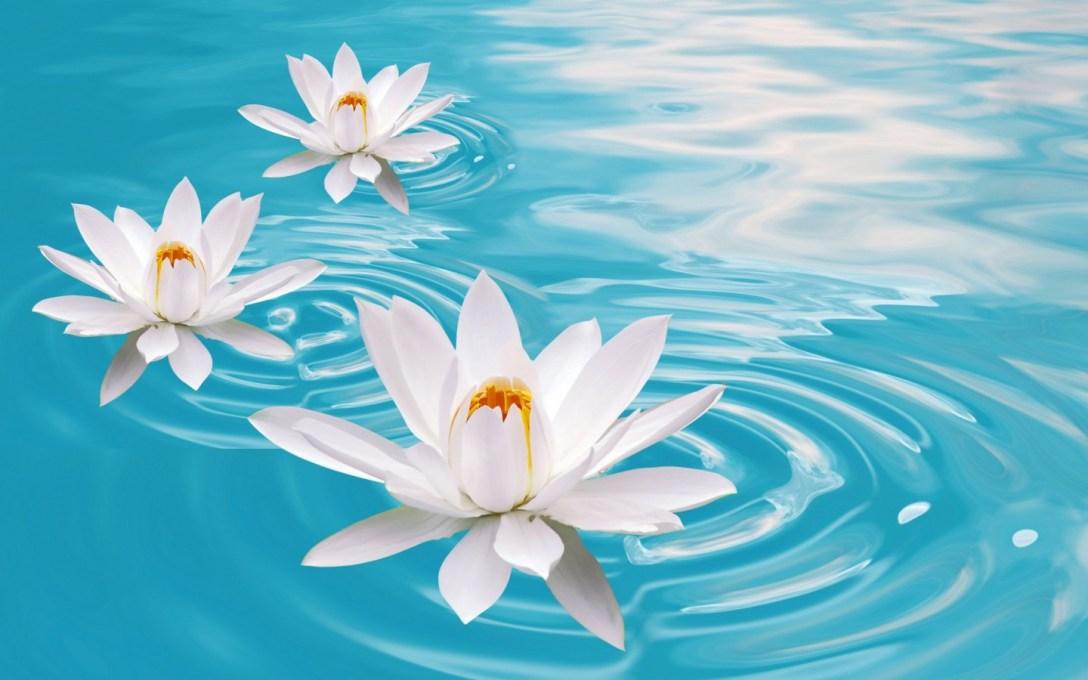 Water-Lilies-flowers