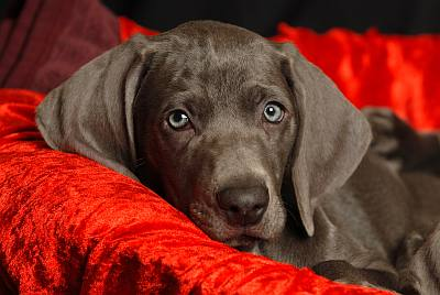 Weimaraner-dog-on-cushion-pes-kje-naj-spi-Mind-Tectonica-mindtectonica