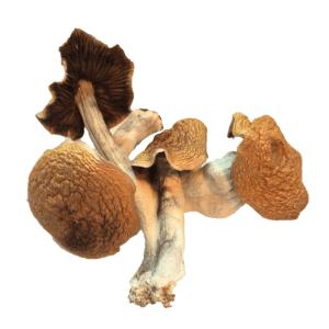 Buy Mexican Cubensis Mushrooms Psilocybe Cubensis Canada | Mindtrek