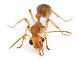 муравей фото с http://www.bobthebugman.com