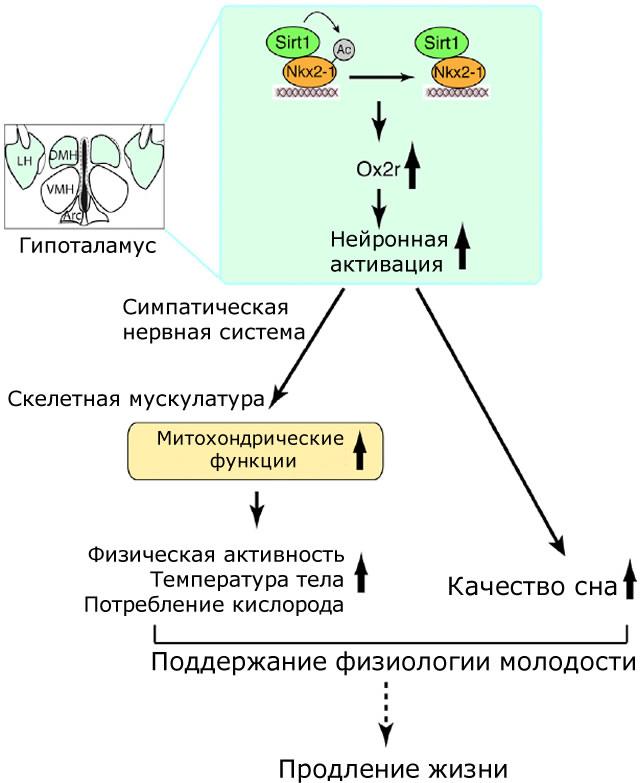модель работы Sirt1 в гипоталамусе для продления жизни