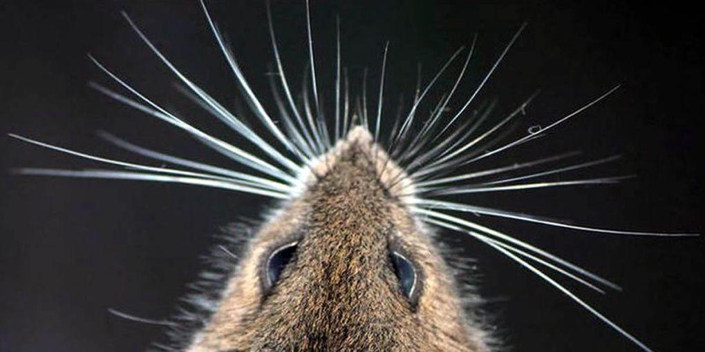 мышка и ее усы