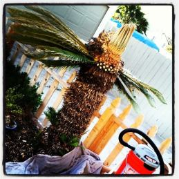 HEAVY pruning of the sago palm. So toxic to dogs and kids and pigs and everyone!