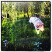 Sasha enjoying the new grassy knoll.