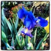 Mystery Iris