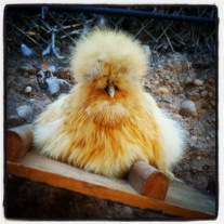 A Napping Piper the silkie