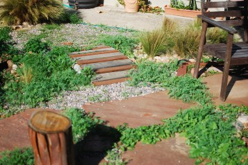 Icelandic Poppies popping up all over my flagstone
