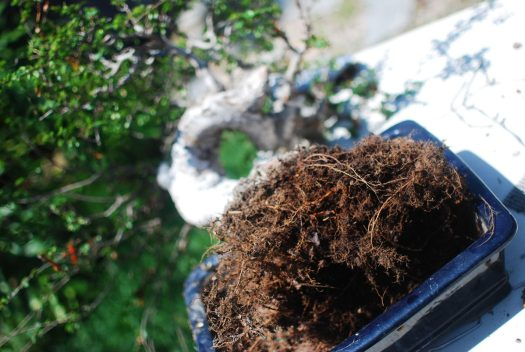 9_Chinese Elm Root Ball