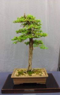 Cypress Bonsai 2_Balboa Park Bonsai Club Show 2013