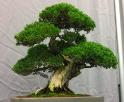 Cypress Bonsai_Balboa Park Bonsai Club Show 2013