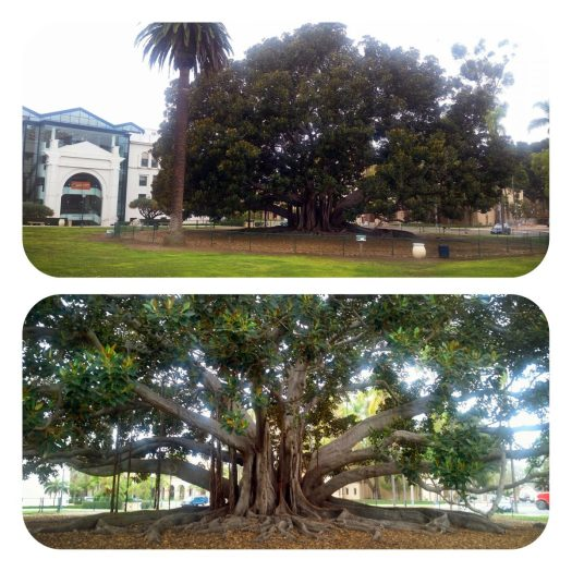 Giant Moreton Bay Fig_Balboa Park
