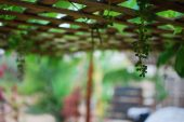 Chardonnay Grapes under my makeshift patio