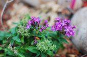 Tiny Purple Pentas