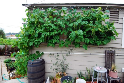 Grapevine Patio_Wall of Grapes 1