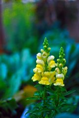 Snapdragons (or Antirrhinum)