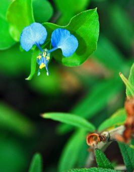 Asiatic Dayflower (or Commelina)