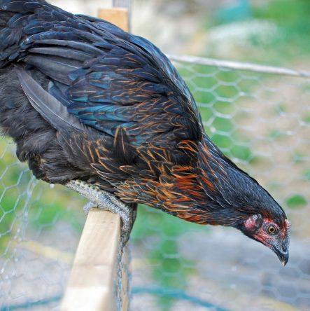 A perched Hen Solo