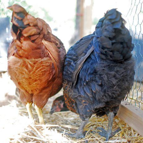 Guess what! Chicken butt.