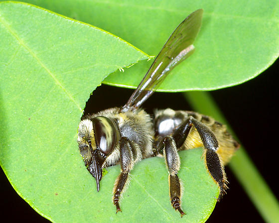 A female leaf cutter bee gathering supplies. Via http://bugguide.net/node/view/376873
