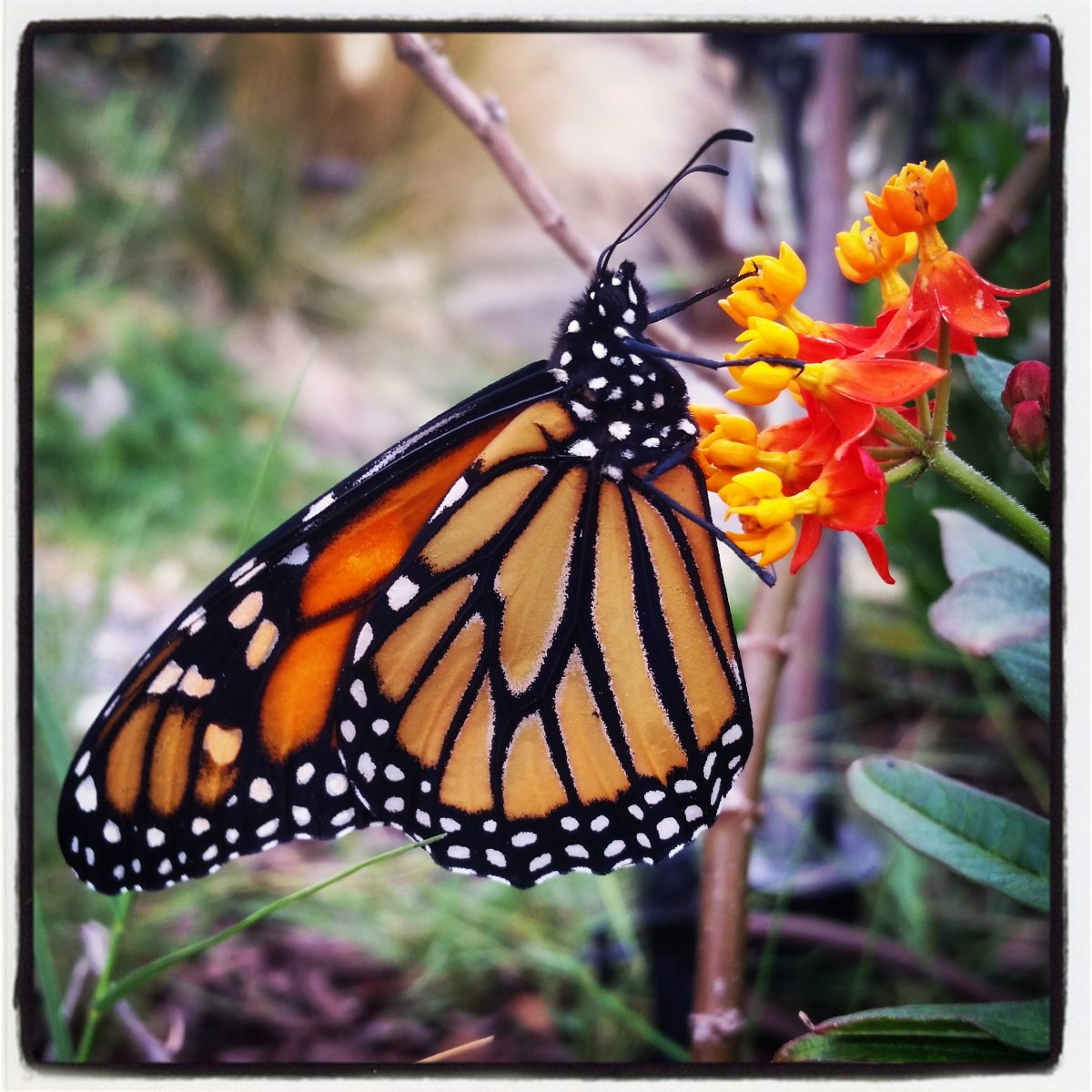 30f50e5bef61f The Sorrow of Daedalus: Performing Prosthetic Surgery on a Monarch Butterfly