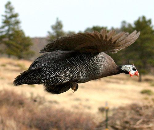 Guinea fowl in flight