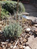 propagated lavendar