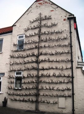 Branching Out 02_Giant espalier in North Cove England during winter