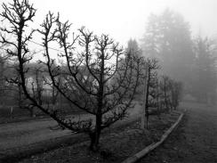 Branching Out_04 Espalier in Black and White
