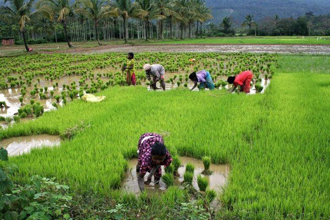Risaie del Kerala India