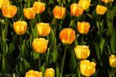 Tulips2013-1