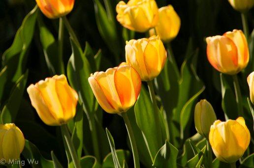Tulips2013-10