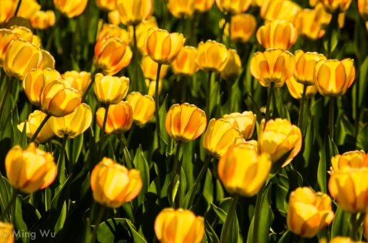 Tulips2013-4