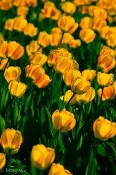Tulips2013-5