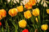 Tulips2013-8