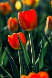 Tulips2013-9