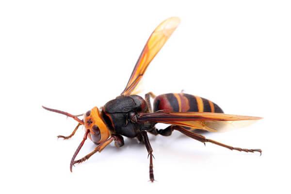 「スズメバチ」の画像検索結果