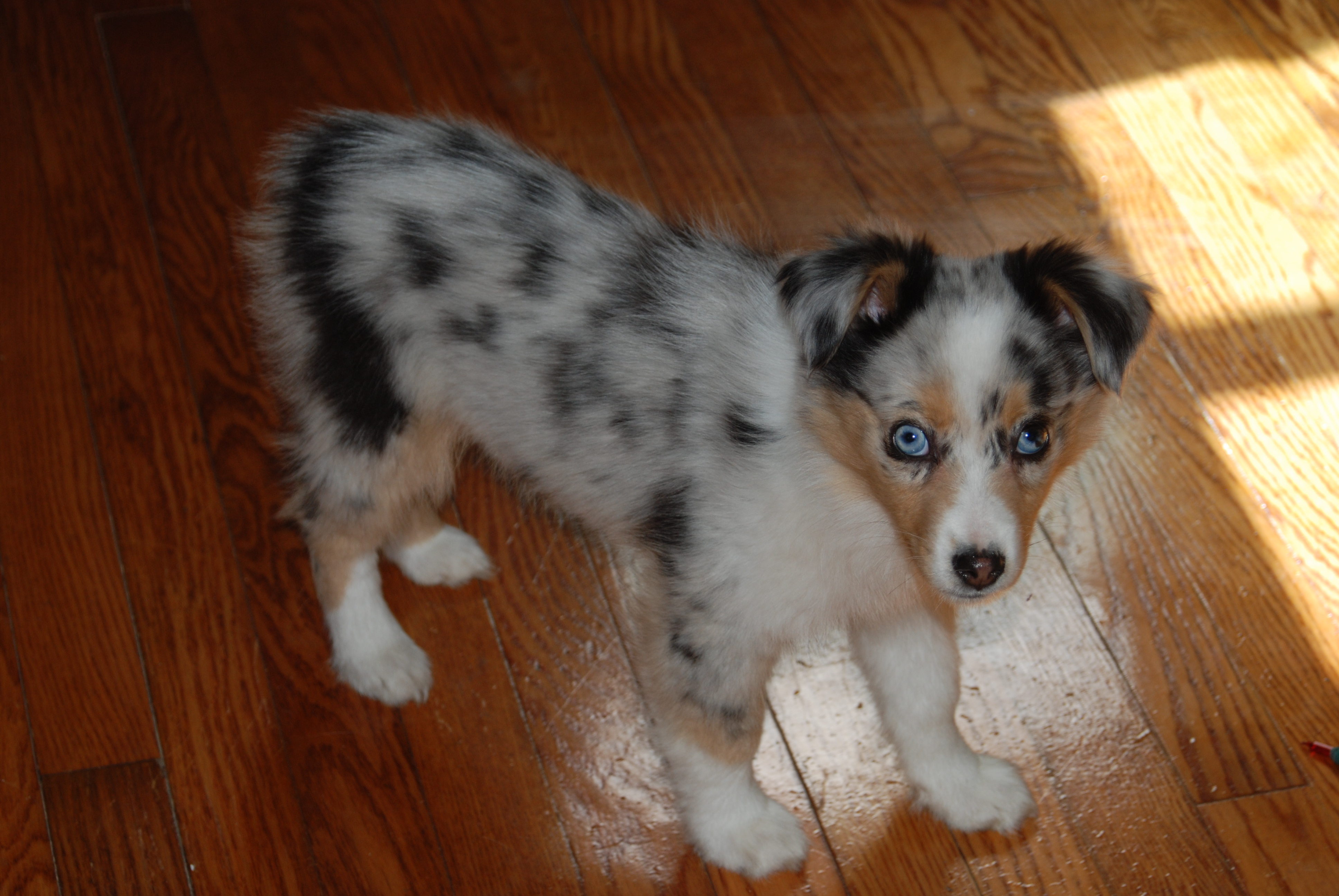 New Puppies  NickaJack Kennels for Miniature Australian Shepherds