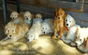 LamgoFarms puppies