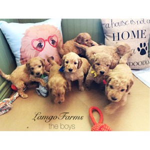 Lamgo Farms Weekly Update | Mini Goldendoodle Monthly | of