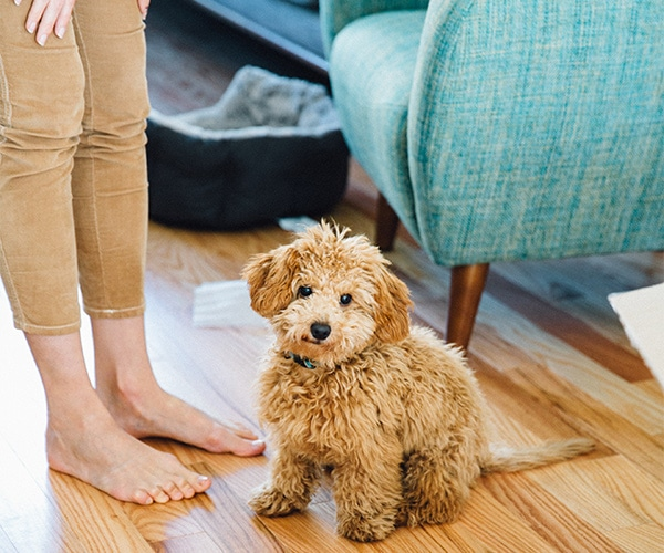 Mini Goldendoodle breed