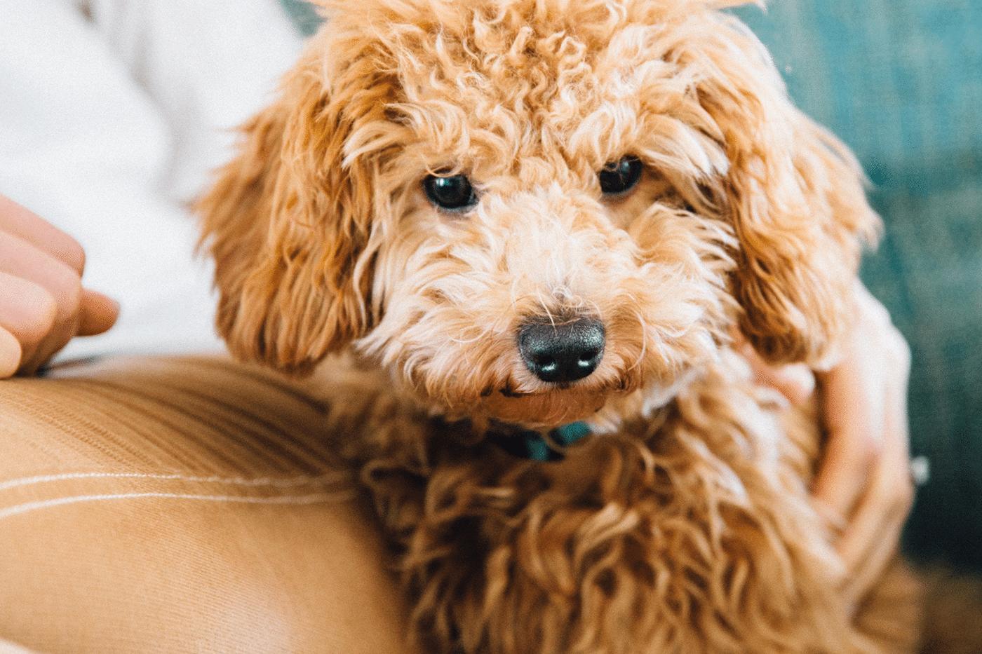 super cute mini goldendoodle puppies