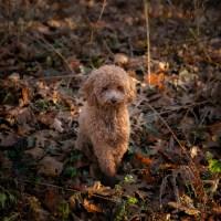 Mini Golden Doodle Pets