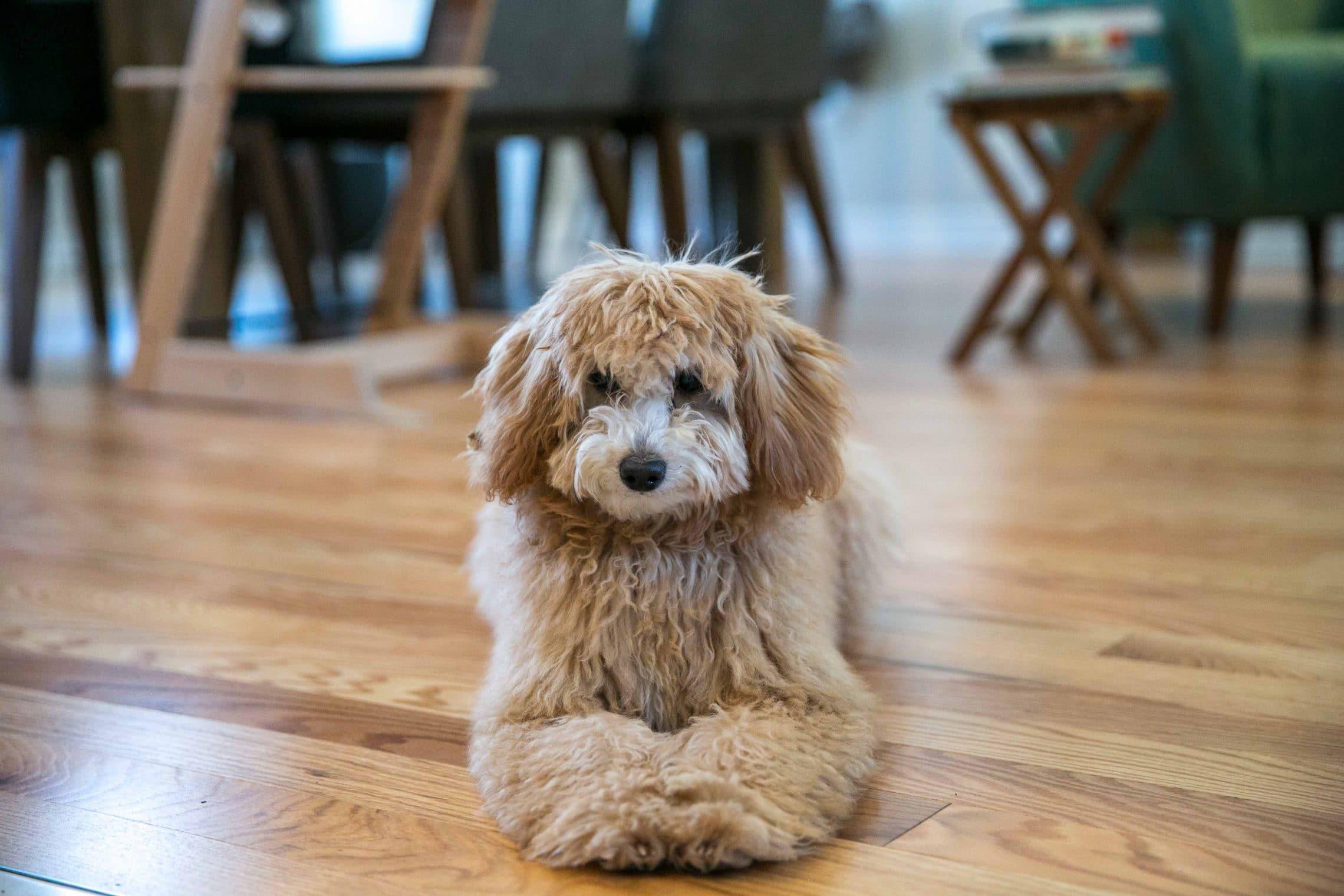 Buttercup - Mini Golden Doodle Puppy