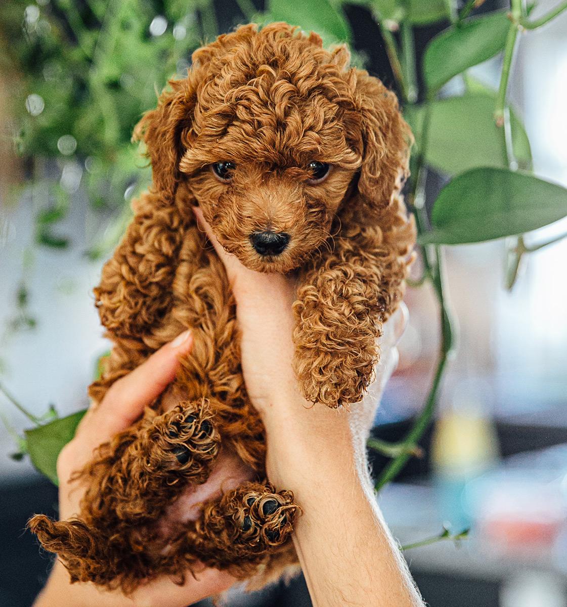 Cute Mini Goldendoodle puppy