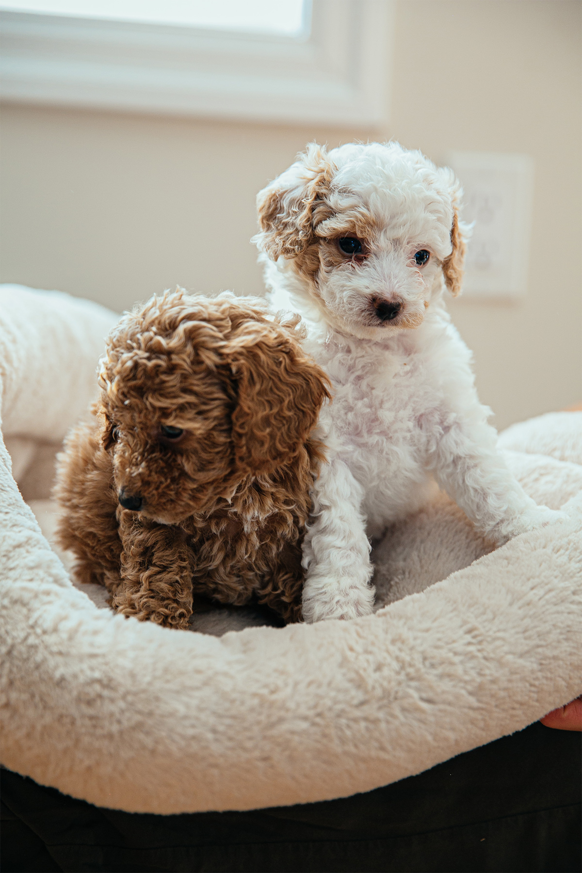 Beautiful, Healthy Mini Goldendoodle Puppies