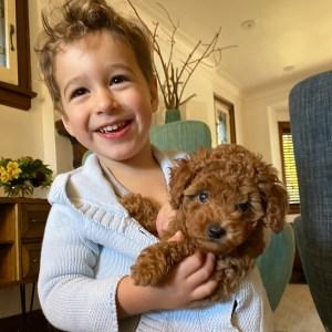 Mini Goldendoodle puppies petite