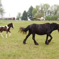 "How do you use a ""breeding-up"" program to decrease size in horses?"