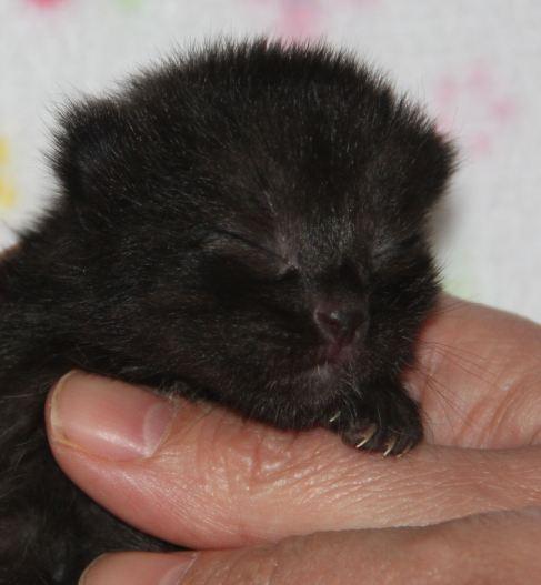 Babykatze zu vermitteln, Kleo, weiblich