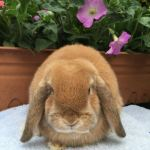 Trixie- orange mini lop doe